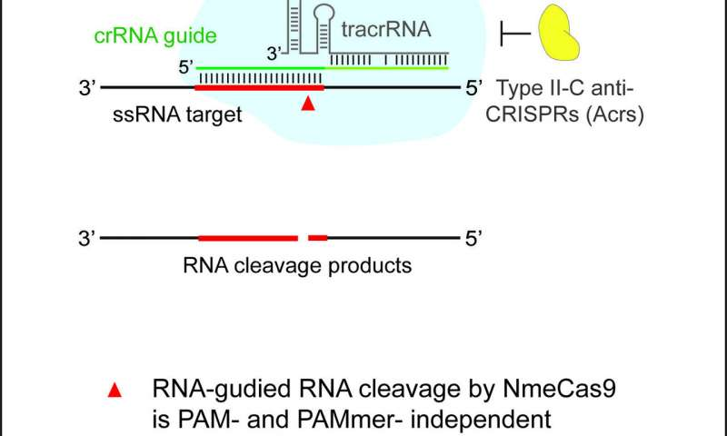 New CRISPR-Cas9 tool edits both RNA and DNA precisely, U-M team reports