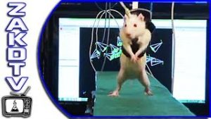 Paraplegic rats REGROW damaged spinal cord and learn to walk again. Humans could be next!
