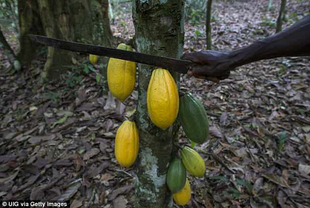 Previous work in cacao identified a gene, known as TcNPR3, that suppresses the plant's disease response. The researchers hypothesized that using the technique to knock out this gene would result in enhanced disease resistance