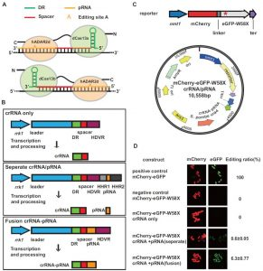 Scientists complete the CRISPR-Cas13a mediated precise site-directed RNA editing of the manual machine