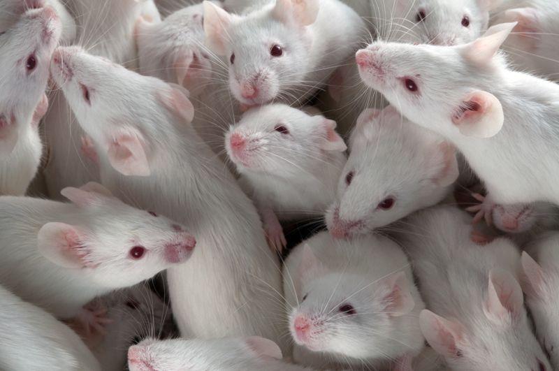 Lab Mice (Mus musculus)