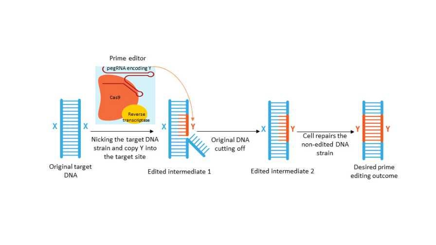Graphic of CRISPR prime editor process