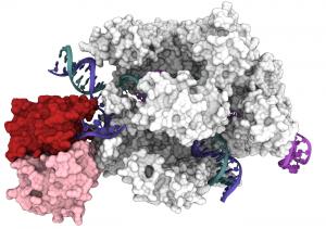 Cryo-EM Captures CRISPR-Cas9 Base Editor in Action – Genetic Engineering & Biotechnology News