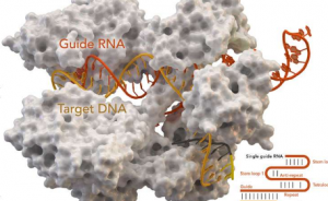 Researchers at the largest of the CRISPR system in the positioning mechanism