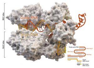 2020 7 on CRISPR/Cas the latest research progress