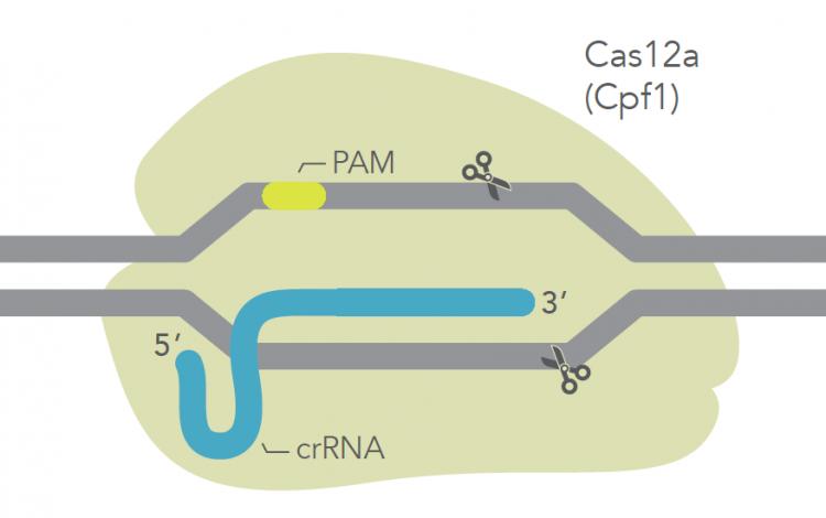 Alt-R CRISPR Cas12a System