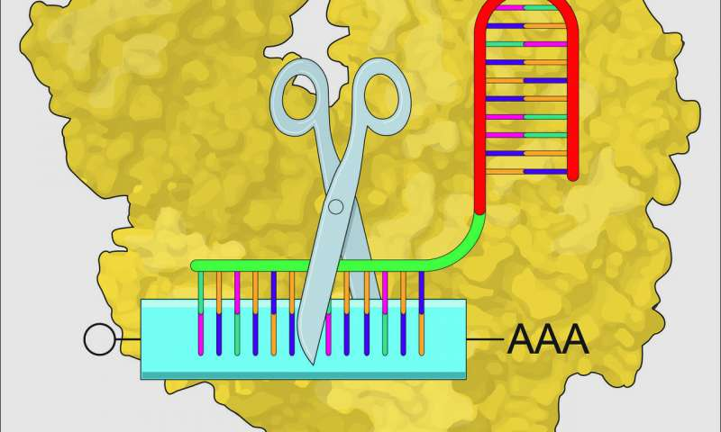 Scientists use CRISPR to knock down gene messages early in development