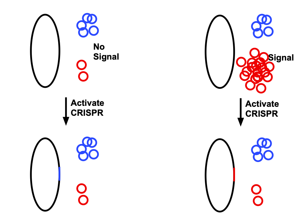 On the left, without any signal, the red plasmid is present at low levels. When CRISPR is activated, the sequence from the blue plasmid is more likely to be inserted into the genome. On the right, when the signal is present, there's a lot more red plasmid, and so it's more likely to be inserted into the genome.