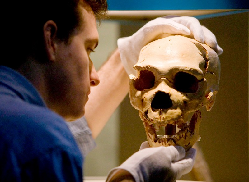 A museum curator holds a cast of a Neanderthal skull.