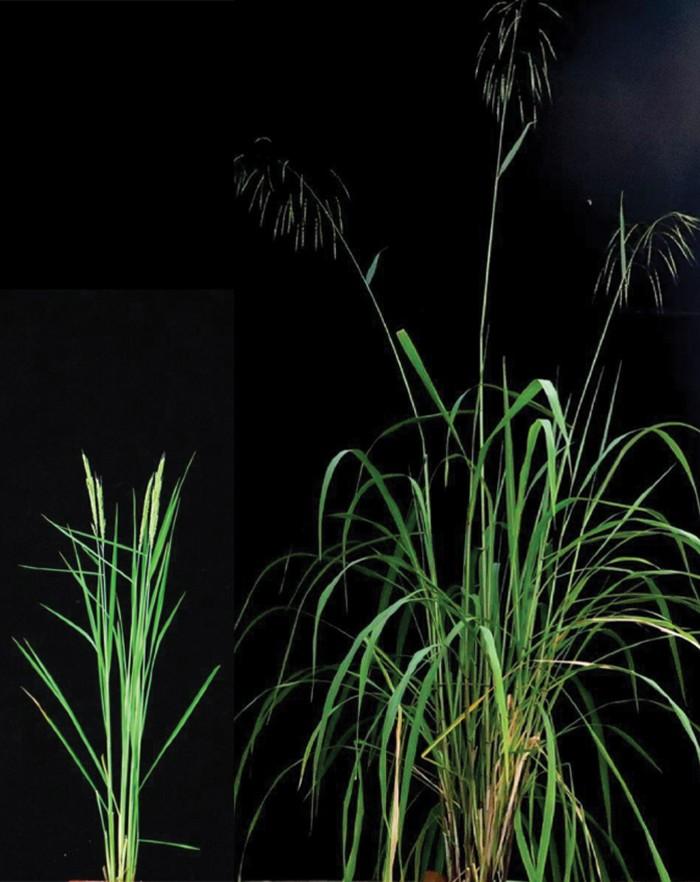 Two rice plants, O. alta and O. sativa.